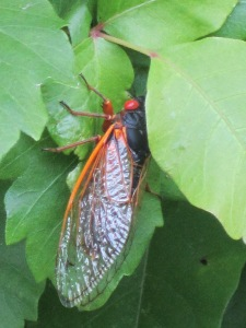 Adult Cicada from the Hudson Valley