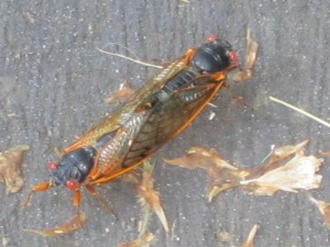 Cicadas mating, beleive it or not they can walk at the same time