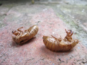 Exoskeletons left behind when nymphs became adult cicadas