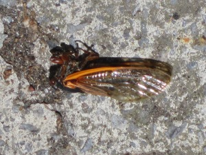 Dead cicadas are all over the place