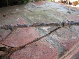 Oak tree twig showing scarring by cicada