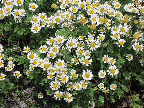 Feverfew in bloom. Source: Self