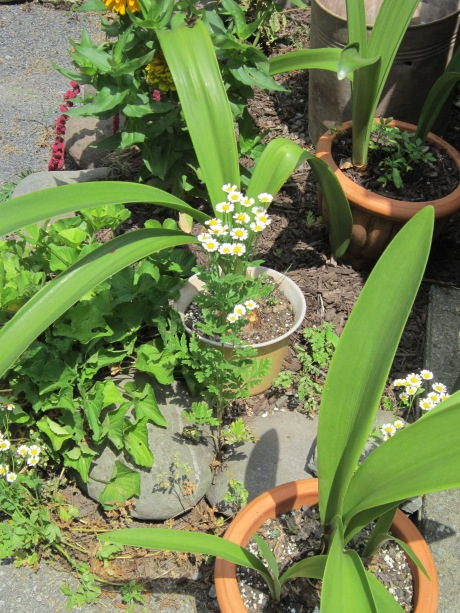 Feverfew growing among potted plants and decorative stones. Source:Self