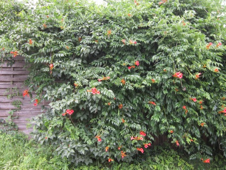 Red Trumpet vine covering a fence. Source: HudsonValleyGardens.us