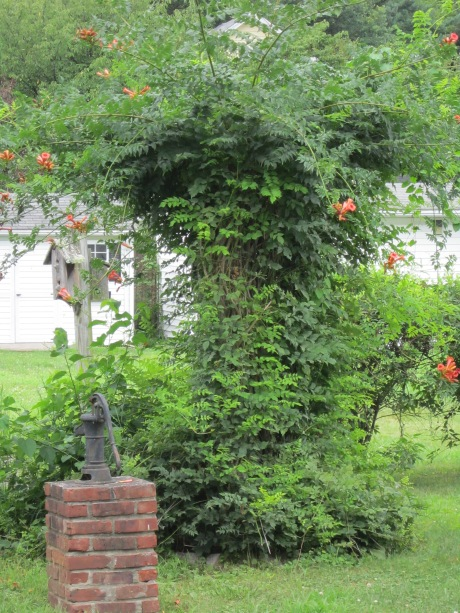 Red Trumpet vine growing over a trellis in a garden. Source: HudsonValleyGardens.us
