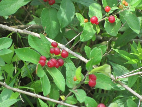 Invasive Bush Honeysuckle