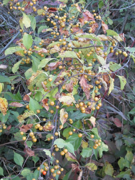 Oriental Bittersweet berries encased in yellow husks. Source: HudsonValleygardens.us