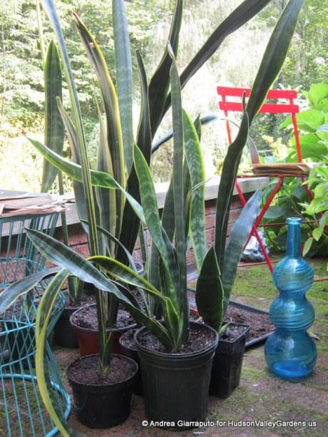 Repotting 'Snake Plants' (Sansevieria trifasciata)