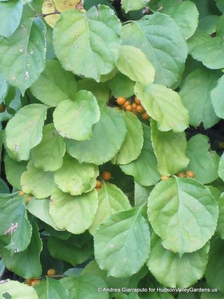 Oriental Bittersweet foliage. Source: HudsonValleyGardens.us