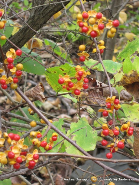 Oriental Bittersweet berries. Source: HudsonValleyGardens.us