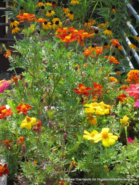 Roof Garden Annuals in Pots