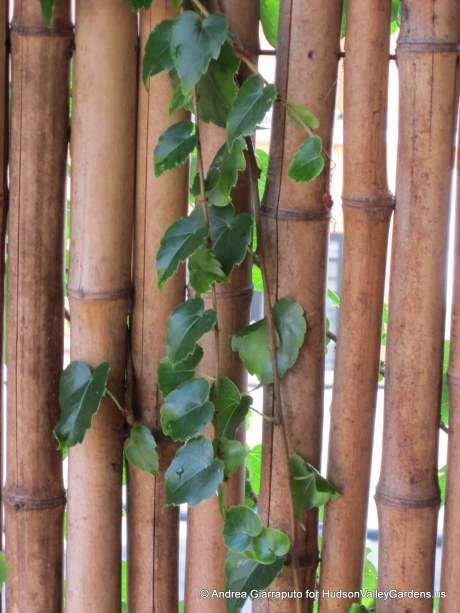 Roof Garden Bamboo Screens with Boston Ivy