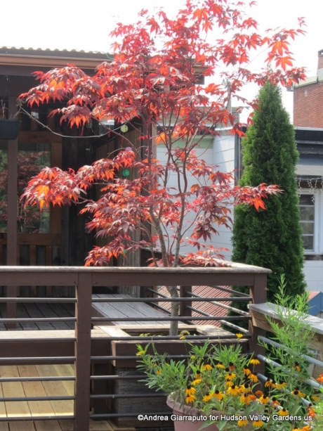 Roof Garden Japanese maple in a box planter