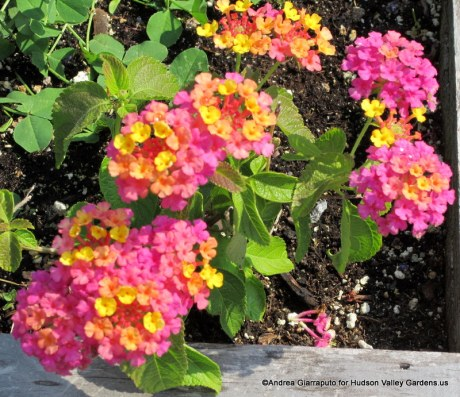 Roof Garden Lantana in a pot