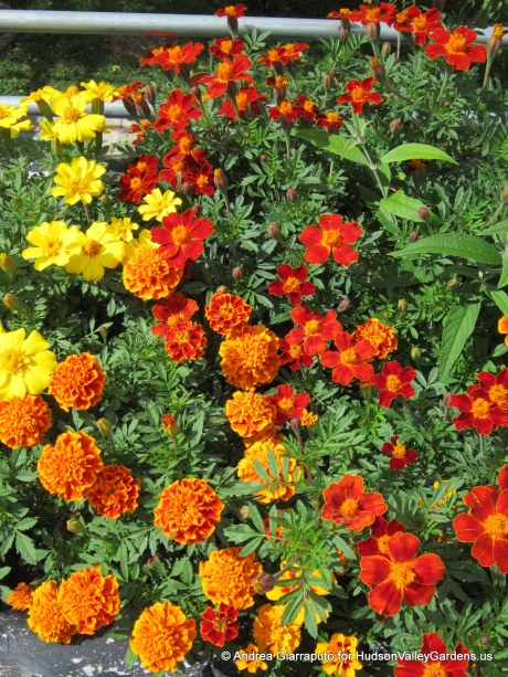 Roof Garden Marigolds and Zinnias