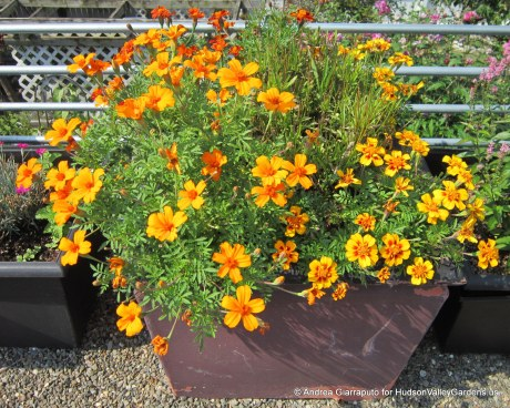 Roof Garden Marigolds in Planter