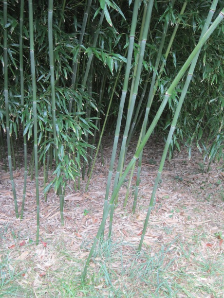 Bamboo in front garden