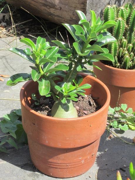 Euphorbia in pot