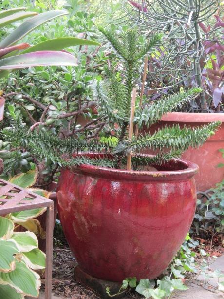 Monkey Puzzle tree, Araucaria araucana