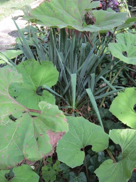 Rhubarb and Yucca, side garden