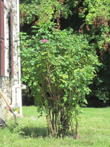 Rugosa rose in back garden