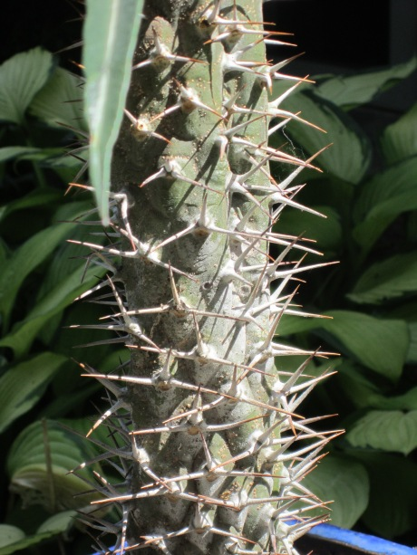 spiky stem of Euphorbia pachypodioides