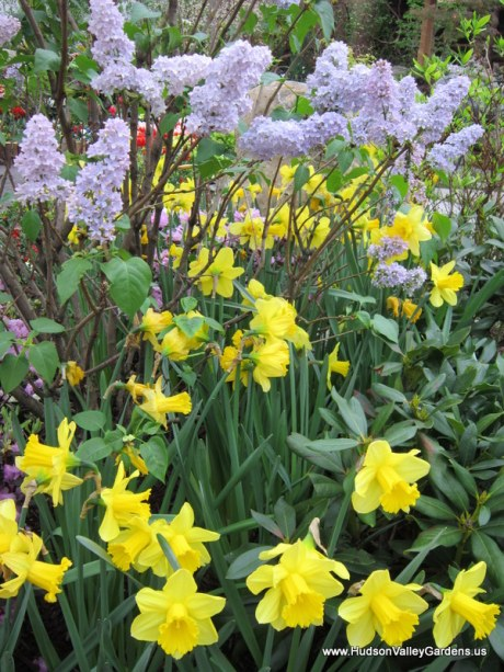 Daffodils and Lilac, www.HudsonValleyGardens.us