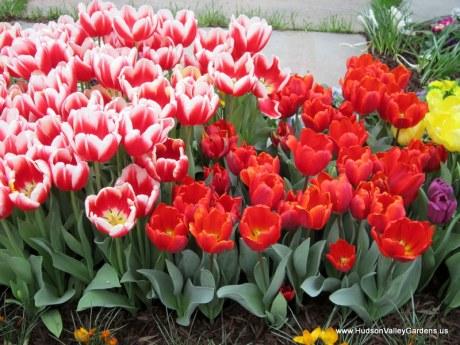 Tulips, www.HudsonValleyGardens.us