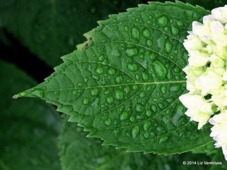 Hydrangea. www.HudsonValleyGardens.us