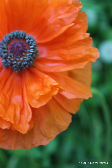 Orange Poppy flower. www.HudsonValleyGardens.us