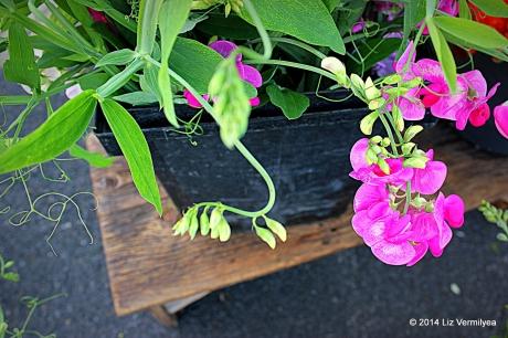Pink Sweet Pea flowers. HudsonValleyGardens.us