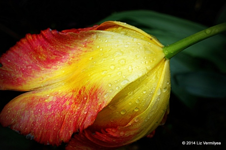 Yellow and red Tulip flower. www.HudsonValleyGardens.us