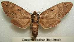 Brown colored Catalpa Sphinx Moth. Image by Wikipedia.org