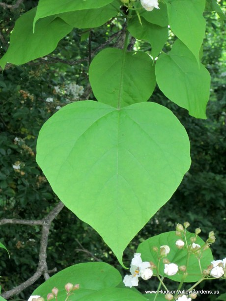 A heart-shaped leaf from a Southern Catalpa tree. www.HudsonValleyGardens.us