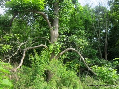 Mature Southern Catalpa tree with massive drooping branches that almost touch the ground. www.HudsonValleyGardens.us