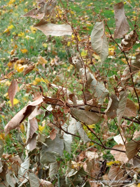 Japanese Knotweed dried flowers in November. www.HudsonValleyGardens.us-001