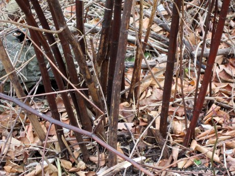 Japanese Knotweed stems in October. www.HudsonValleyGardens.us