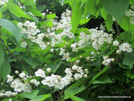 Many pinnacles of white flowers on a Southern Catalpa tree. www.HudsonValleyGardens.us