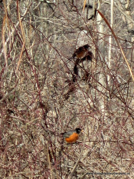 Two American Robins on the bare branches of trees in winter, NY www.HudsonValleyGardens.us