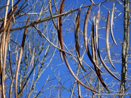 Many long brown seed pods hanging from the branches of the Southern Catalpa tree in winter, NY. www.HudsonValleyGardens.us