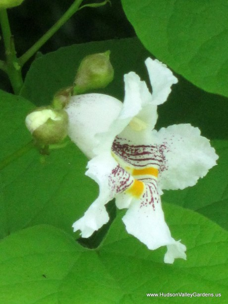 A single white bell-shaped flower with yellow and purple stripes inside. The edges of the petals are ruffled. From the Southern Catalpa tree. www.HudsonValleyGardens.us