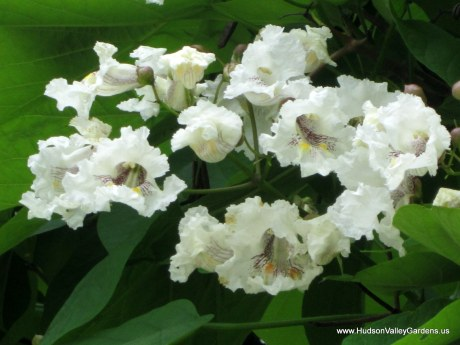 Picture of a pinnacle of Southern Catalpa tree flowers which are white with pink stripes inside. www.HudsonValleyGardens.us