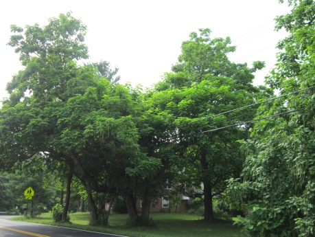Southern-catalpa-trees-www.HudsonValleyGardens.us
