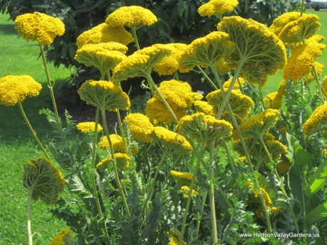 yellow achillea flowers