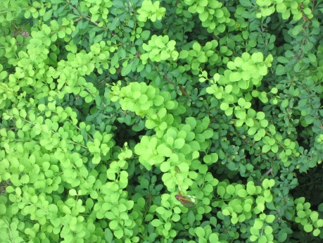 Green foliage of a Barberry Shrub in summer showing detail of leaves and bright 'apple' green color of foliage