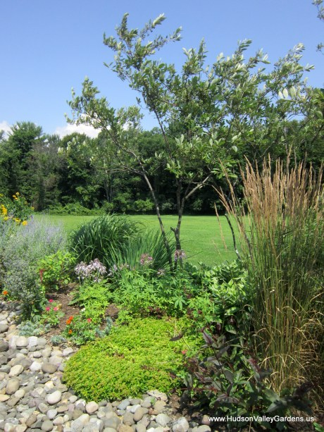 Chokeberry tree, sedum, ornametnal grasses in a garden with ornamental 'river bed' made from pebbles