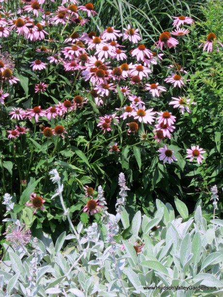 purple coneflowers and lambs ear plants