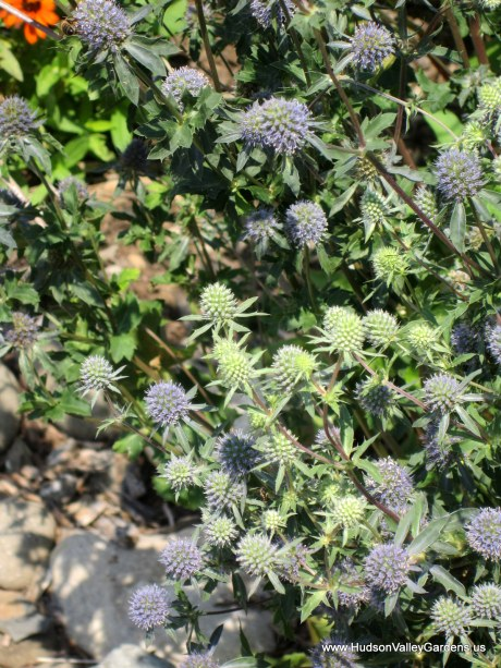 Pale purple Echinops flowers with bees and other insects