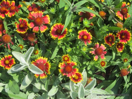 Gaillardia 'Goblin' yellow and red flowers