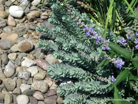low growing euphorbia with grey leaves, growing next to pebbles